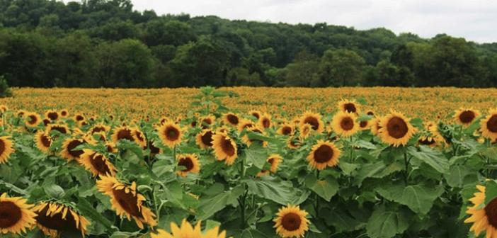 nj mom best sunflower farms fields mazes New Jersey